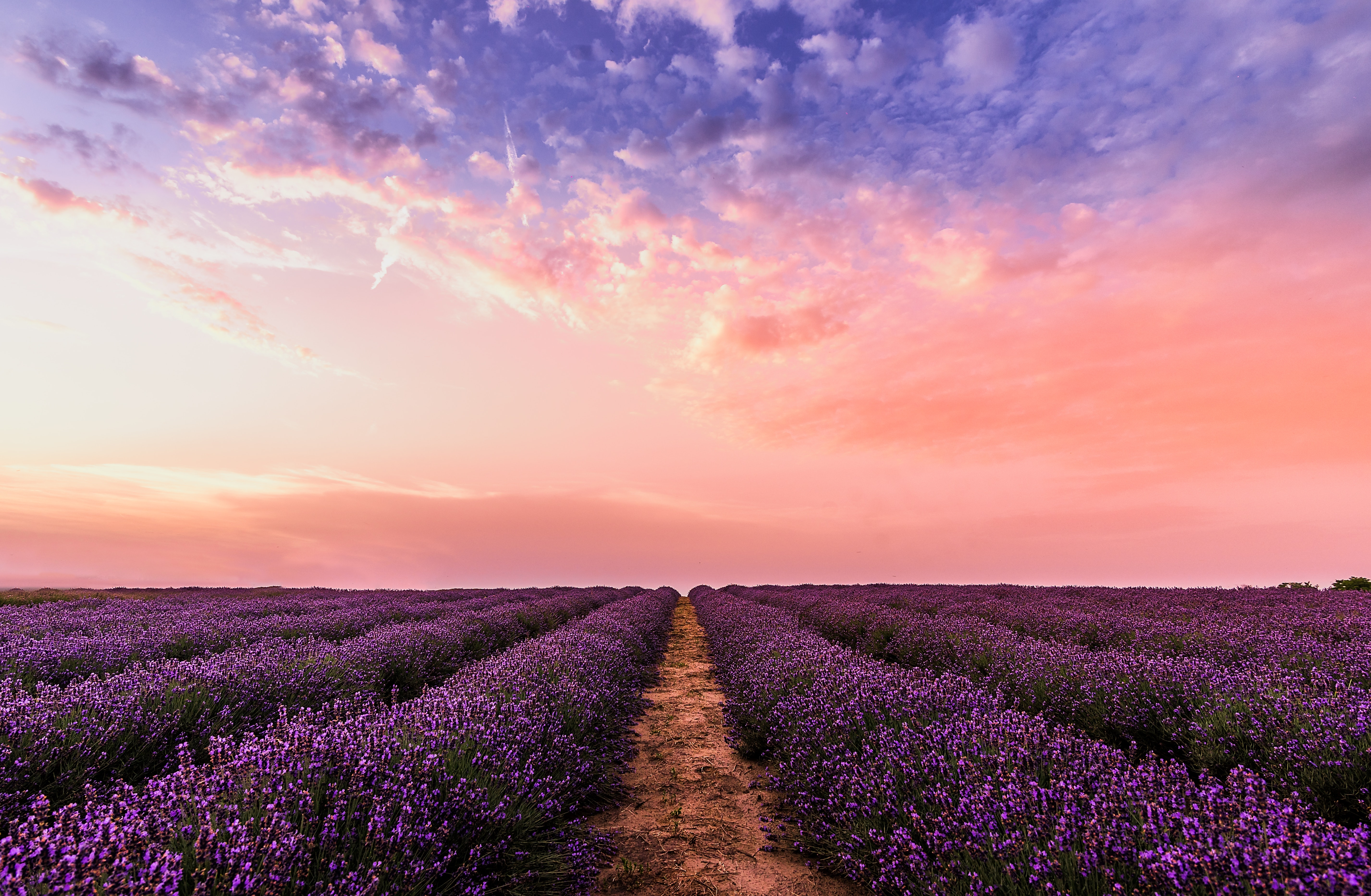 photo-lavender-flower-field-under-pink-sky-1166209
